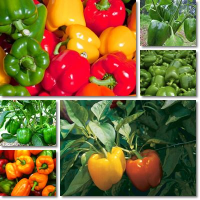 Bell peppers small