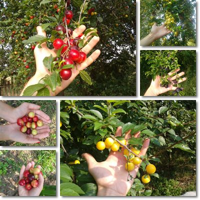 Properties and Benefits of Mirabelles