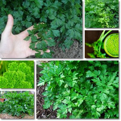 Properties and Benefits of Parsley