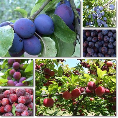 Properties and Benefits of Plums