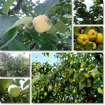 Properties and Benefits of Quinces