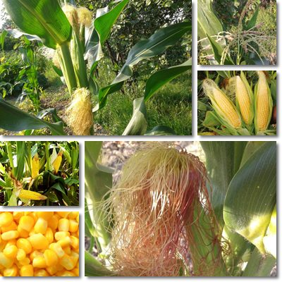Sweet corn small