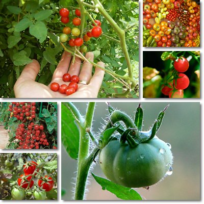 Properties and Benefits of Tomatoes