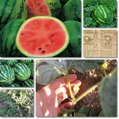 Properties and Benefits of Watermelons