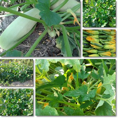 Properties and Benefits of Zucchini