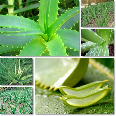 Properties and Benefits of Aloe Vera