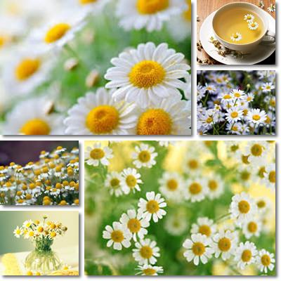 Properties and Benefits of Chamomile