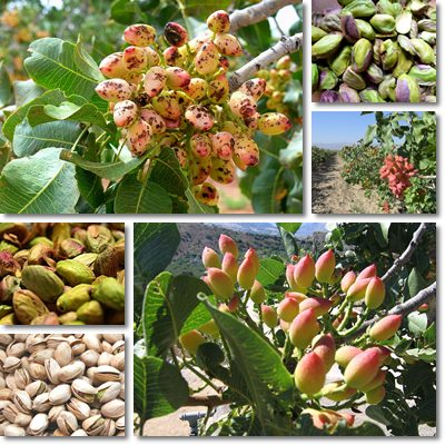 Properties and Benefits of Pistachios