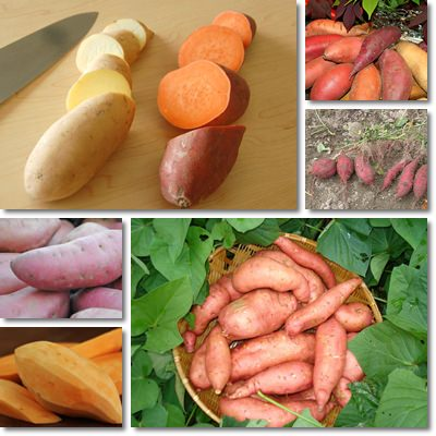 Properties and Benefits of Sweet Potatoes