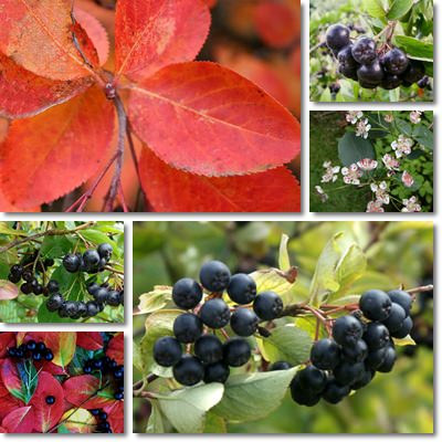 Properties and Benefits of Aronia Berries