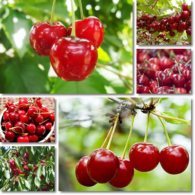 Properties and Benefits of Cherries