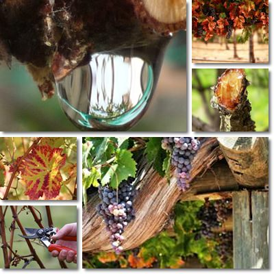 Properties and Benefits of Grapevine Sap