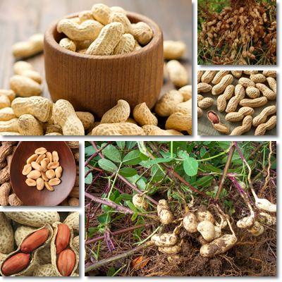 Properties and Benefits of Peanuts