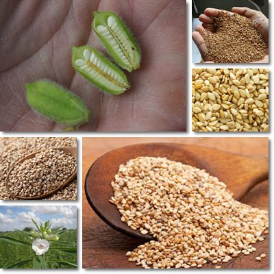 Properties and Benefits of Sesame Seeds