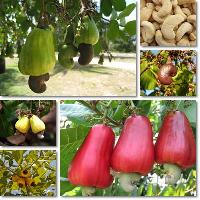 Properties and Benefits of Cashews