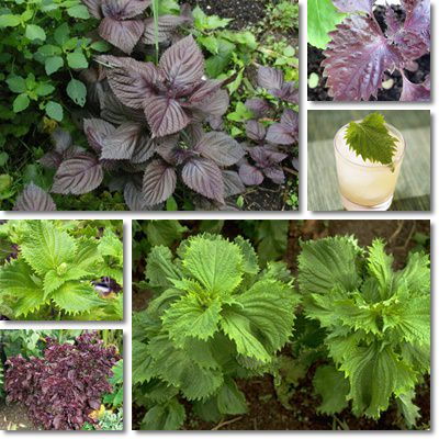 Properties and Benefits of Shiso