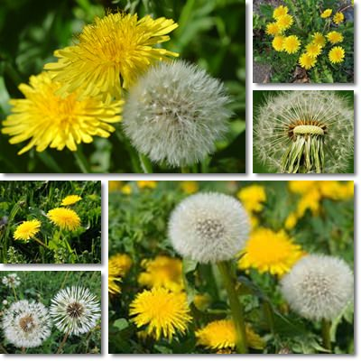Properties and Benefits of Dandelions