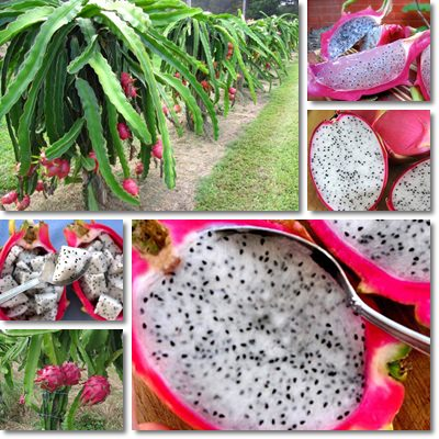 Properties and Benefits of Dragon Fruit