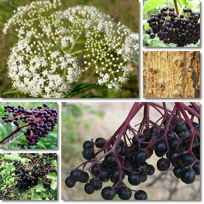 Properties and Benefits of Elderberry