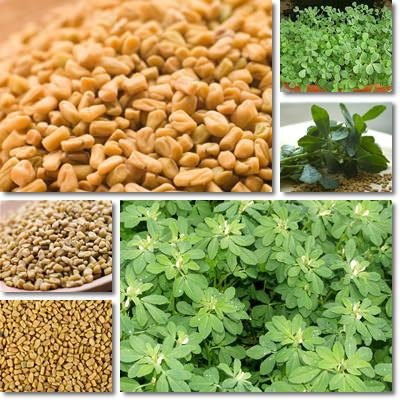 Image result for IMAGE OF FENUGREEK SEEDS