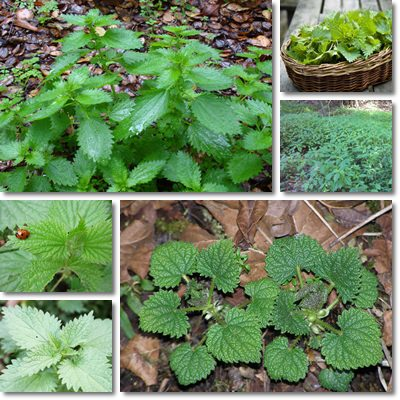 Properties and Benefits of Nettle