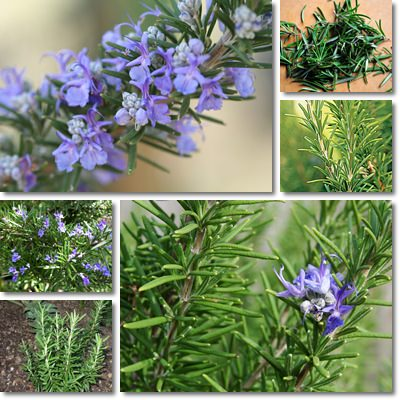 Properties and Benefits of Rosemary