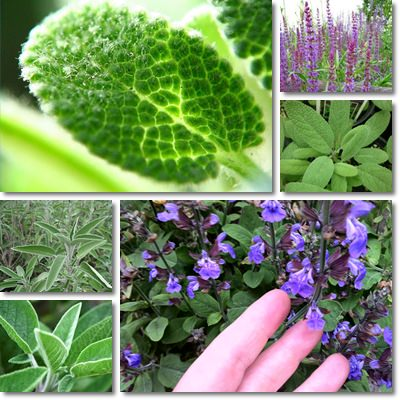 Properties and Benefits of Sage