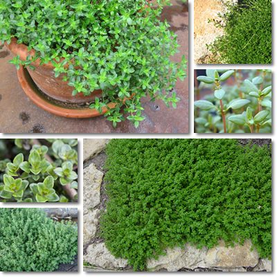 Properties and Benefits of Thyme
