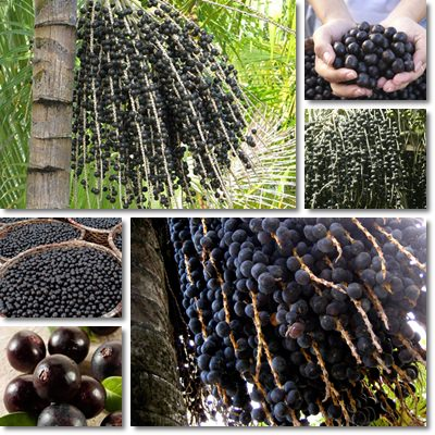 Properties and Benefits of Acay Berries