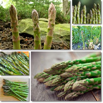 Properties and Benefits of Asparagus
