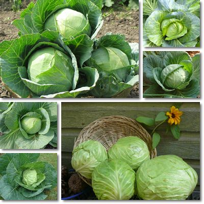 Properties and Benefits of Cabbage
