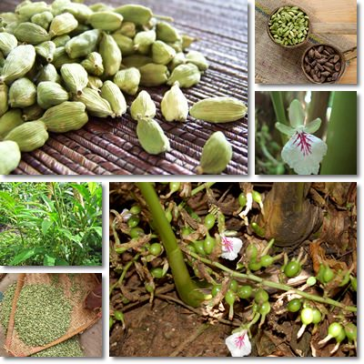 Properties and Benefits of Cardamom