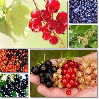 Properties and Benefits of Currants