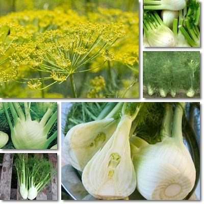 Properties and Benefits of Fennel