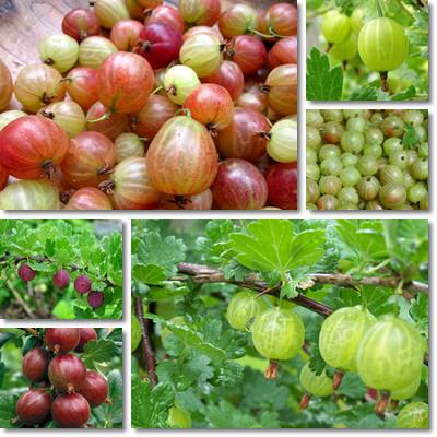 Properties and Benefits of Gooseberry