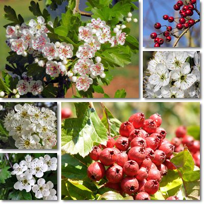 Properties and Benefits of Hawthorn