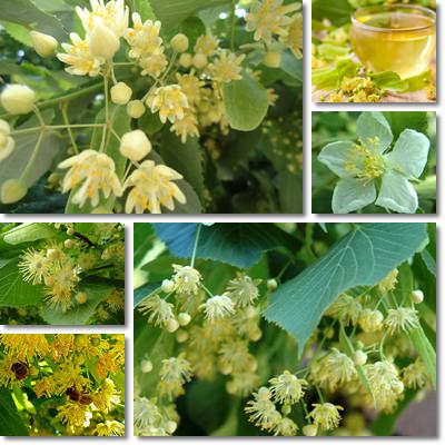 Properties and Benefits of Linden