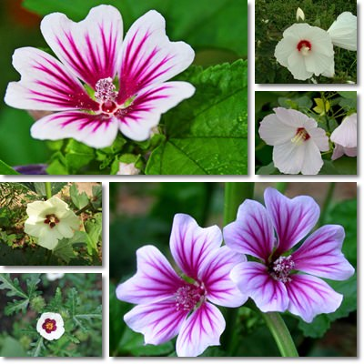 Properties and Benefits of Mallow