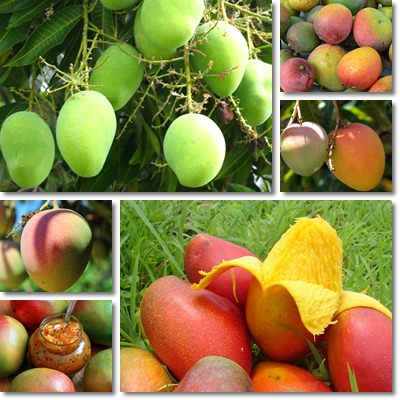 Properties and Benefits of Mango