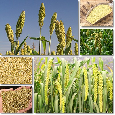 Properties and Benefits of Millet