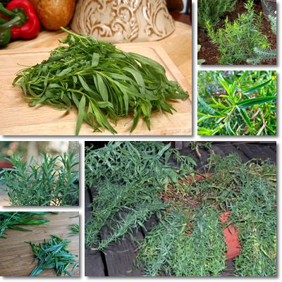 Properties and Benefits of Tarragon