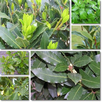 Properties and Benefits of Bay Leaves