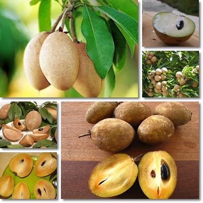 Properties and Benefits of Sapodilla
