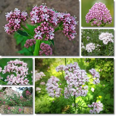 Properties and Benefits of Valerian