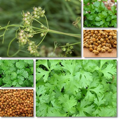 Properties and Benefits of Coriander