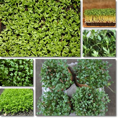 Properties and Benefits of Garden Cress
