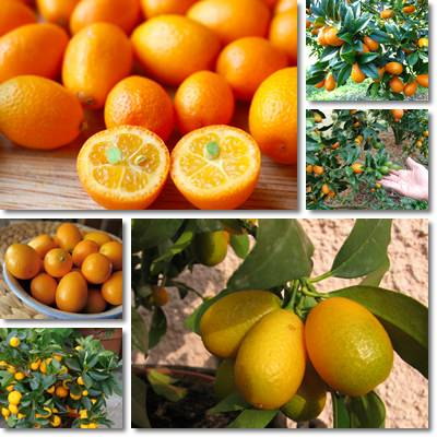 Properties and Benefits of Kumquat