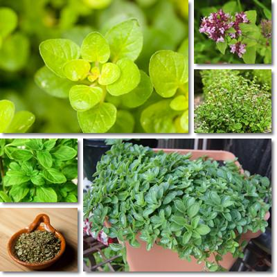 Properties and Benefits of Marjoram