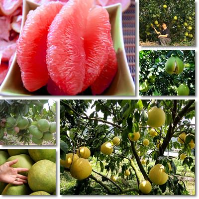 Properties and Benefits of Pomelo