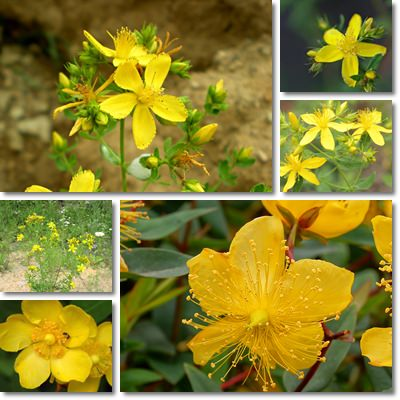 Properties and Benefits of St John's Wort
